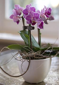 Pflege Von Schmetterlings Orchideen Phalaenopsis