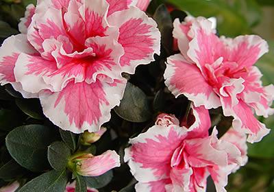 Azalee_rhododendron_simsii.jpg Bluhende Zimmerpflanzen Arten