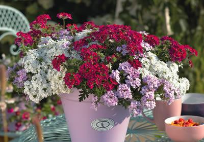 balkonpflanzen winterhart pflegeleichte balkonpflanzen pflanzen pinterest pflegeleichte. Black Bedroom Furniture Sets. Home Design Ideas
