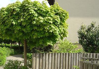 Baume Straucher